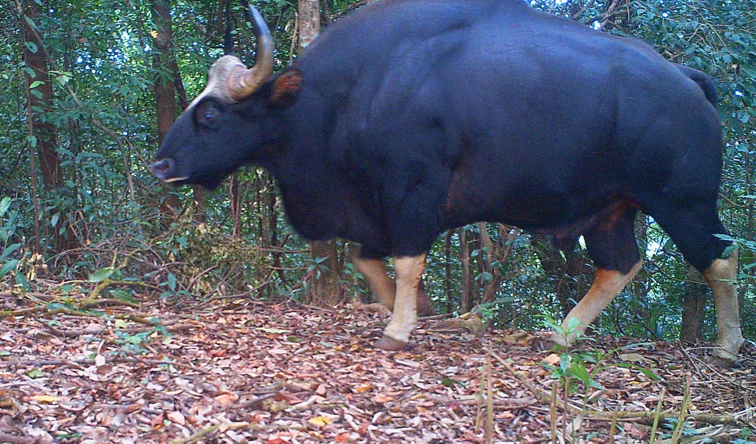 kayin gaur